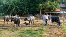 চাঁপাইনবাবগঞ্জে গরুর বিট-খাটাল চলছে স্বরাষ্ট্রমন্ত্রীর একান্ত সচিবের জাল স্বাক্ষরে