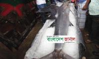 ঝিনাইদহে ৮০ কেজি ওজনের গোলপাতা মাছ